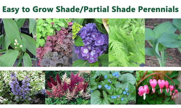 shadeperennials